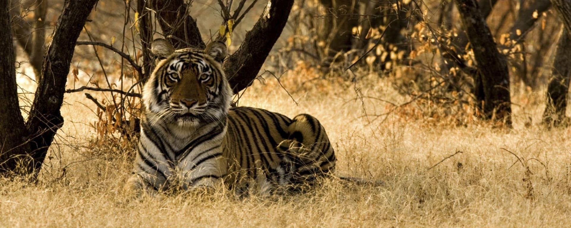 Tout savoir sur les voyages et les vacances en Inde: Tiger at Ranthambore National Park