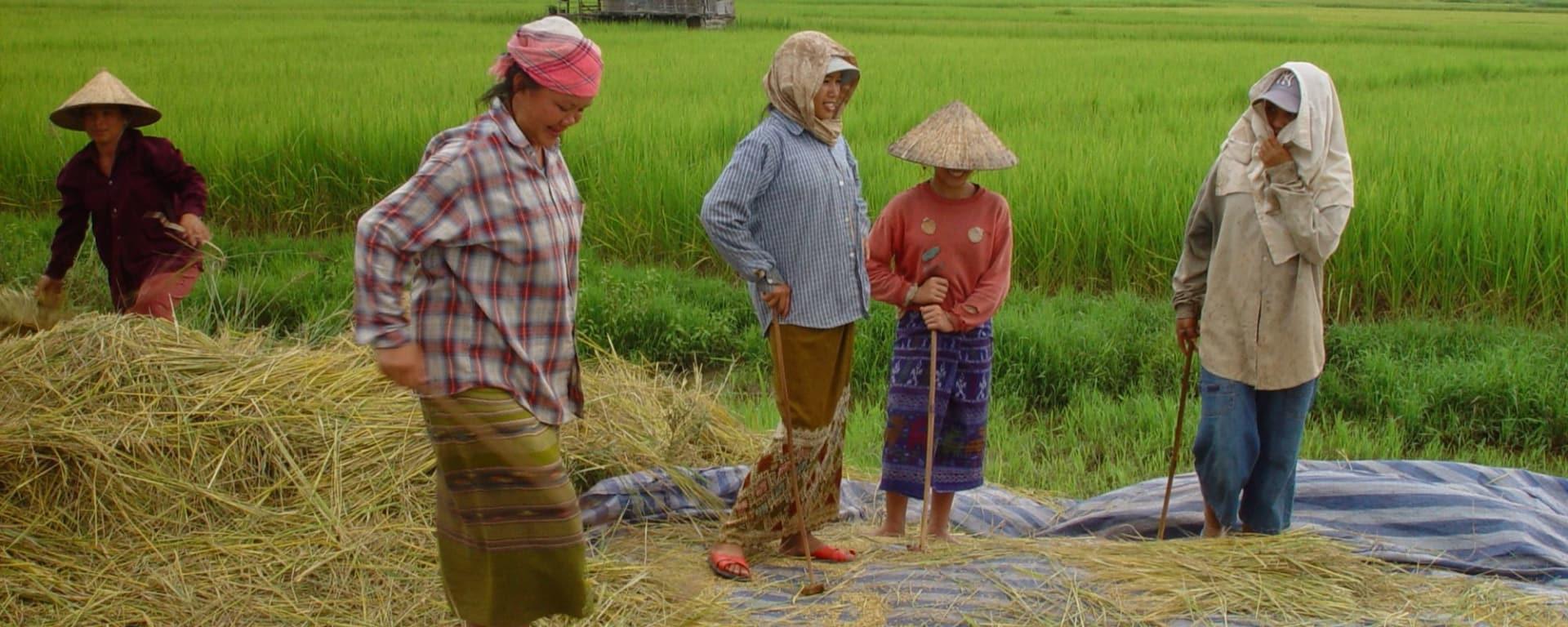 Le riz, source de vie! à Luang Prabang: Laos working in the paddies 001