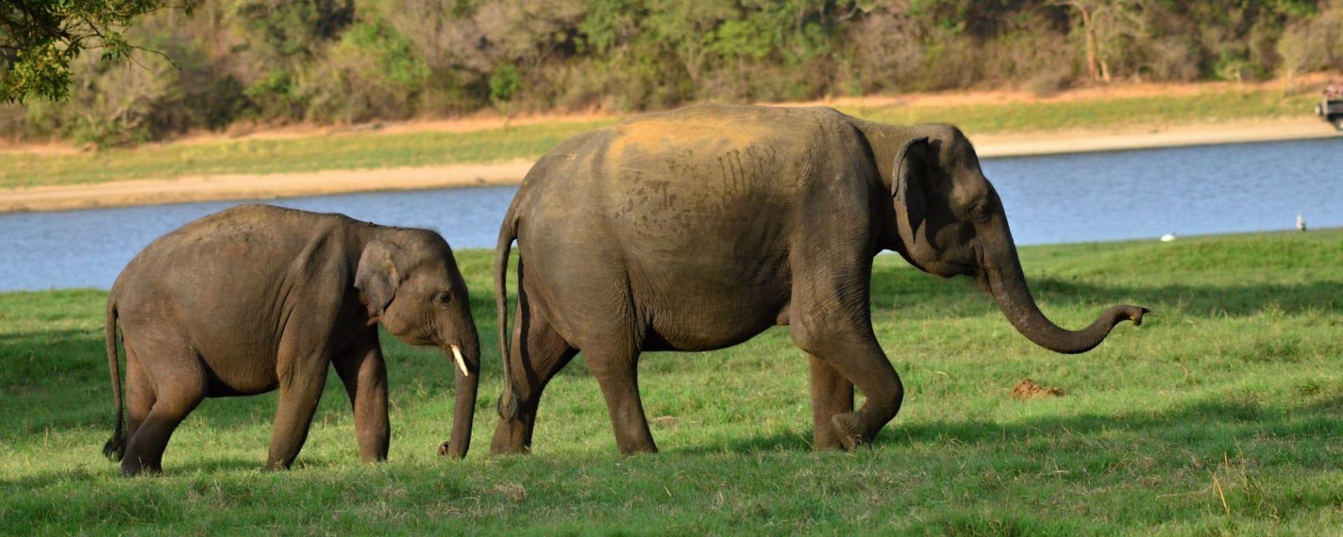 L'Est du Sri Lanka en été de Colombo: Minneriya National Park