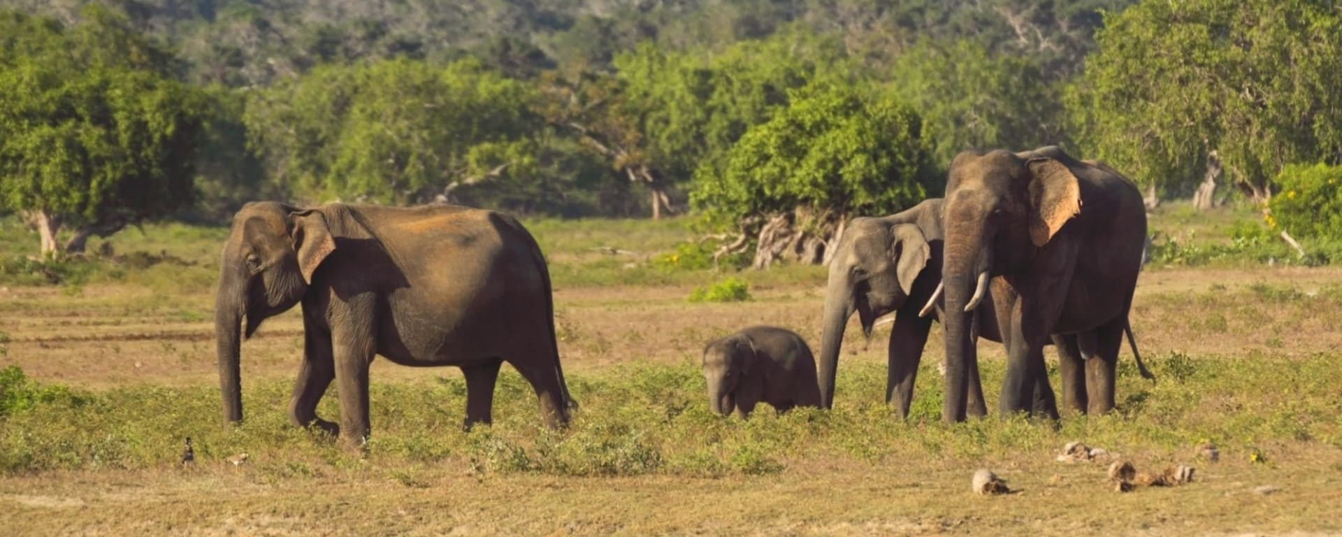 Active Discovery - Sri Lanka mit Claudia ab Colombo: Yala National Park: Elephants