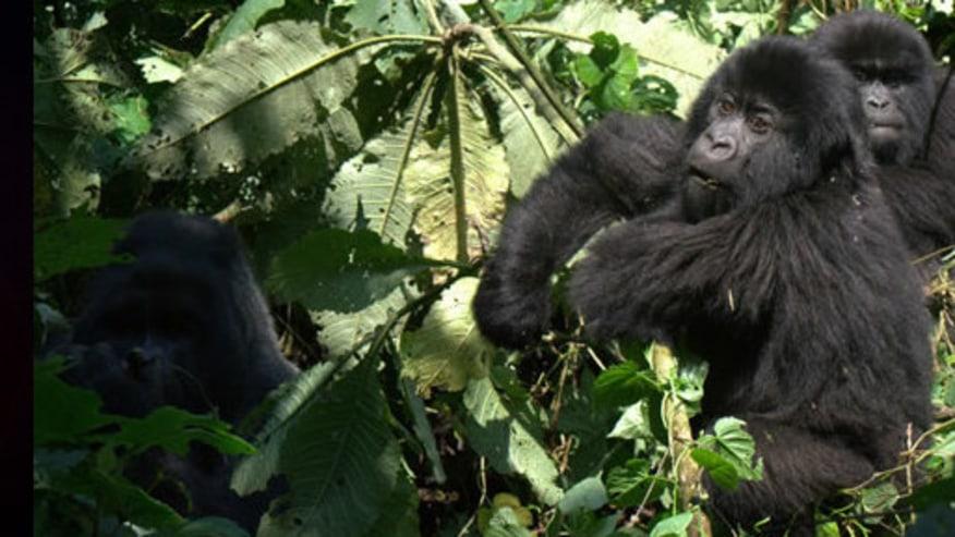 Meet Congo Primates and Hike towards Nyiragongo Volcano