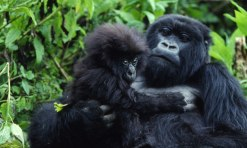 Is Rwanda Safe for Gorilla Tracking?