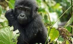Gorillas Learnt To Habituate and Track Humans!