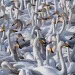 Swans of Altai Mountains