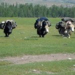 Mongolian Yak Safari May 2010
