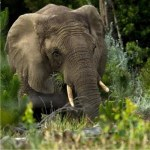 Knysna Elephant Charge
