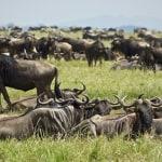 Great Serengeti Wildbeest Migration