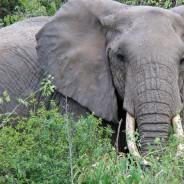 The Amazing African Elephant (Loxodonta African)