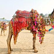 Colourful Animal Fair in Temple Town of Pushkar - India