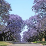 Pretoria; purple blooms, presidential offices,powerful history!