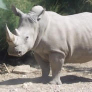 THE CRITICALLY ENDANGERED WHITE RHINOS