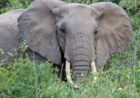 The Amazing African Elephant (Loxodonta African)