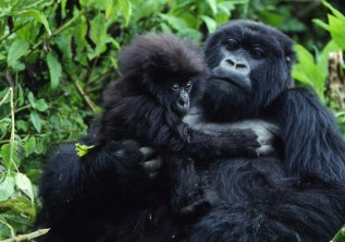 Is Rwanda Safe for Gorilla Tracking?