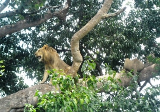 THE KING OF THE JUNGLE IN THE PEAL OF AFRICA.
