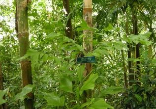 Kithul Tree