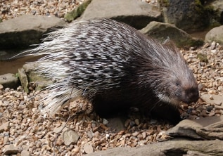 Can porcupines shoot their quills?