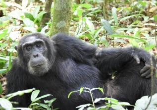 Uganda - the Chimpanzee's Homeland