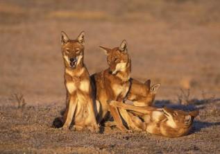 Ethiopia Endemic Mammals