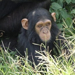 Track Chimpanzees in Tanzania