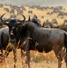 A Safari Date with the Wildebeest
