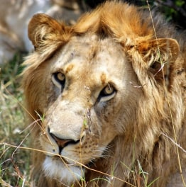 Experience the best of Kenyan wildlife safari