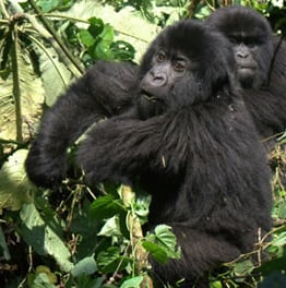 Meet Congo Primates and Hike towards Nyiragongo Volcano