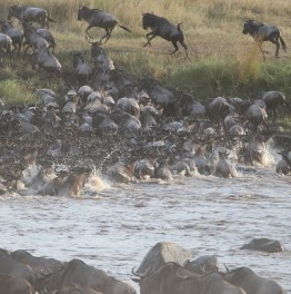 Witness a chaotic migration in Kenya