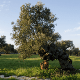 Stop at an ancient olive grove