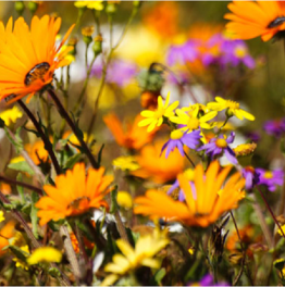 Marvel at the burst of colour along the West Coast & Namaqualand