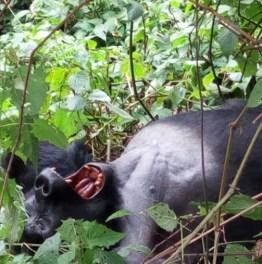 Spot Gorillas on a Thrilling Ugandan Safari