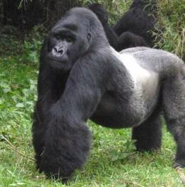Search for a Mountain Gorilla Family