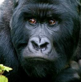 Track mountain gorillas in Uganda