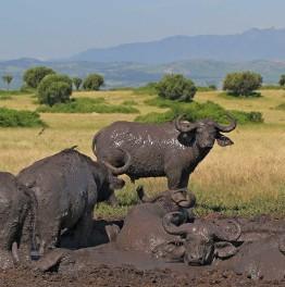 Enjoy watching Ugandan Primates; Gorillas and chimpanzees