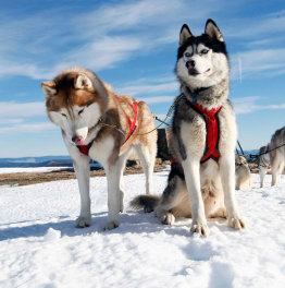 4-Hour Husky Sledding Tour In Kuusamo