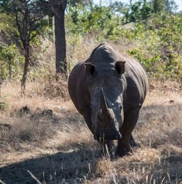 Sight the rare White Rhino