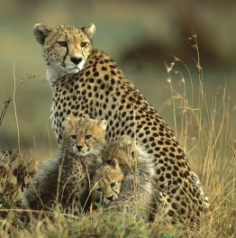Enjoy wildlife safaris through the Masai Mara