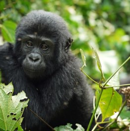 Primate Tour in Uganda