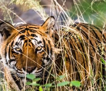 Royal Bengal Tiger at Ranthambore Tiger Reserve, Sawai Madhopur, Rajasthan