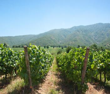 Carmenere wineyard in Santa Cruz Rancagua Chile