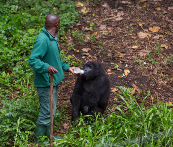 A veterinarian giving milk to one of the orphan gorilas inside the Virunga National Park in DRC, Central Africa