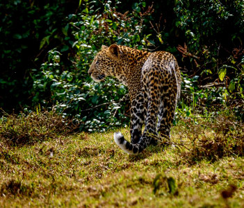 Young leopard in Aberdare National Park Kenya