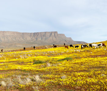 Yellow Fileds with Cattle and a Mountain looking like Table Mountain in the background Tankwa Karoo, South Africa