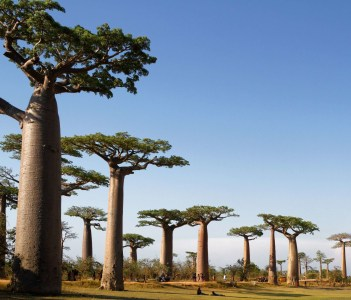 Alley of the Baobabs is a prominent group of baobab trees lining the dirt road near Morondava. Its striking landscape draws travelers from around the world