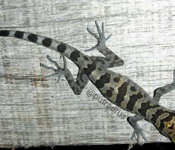 Cyrtodactylus cavernicolus (Niah Cave Gekko)