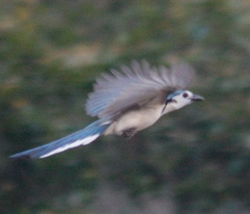 white throated magpie jay ometepe