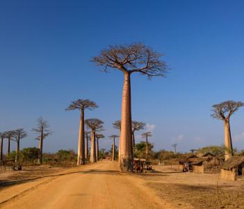 Baobab Adansonia in Beloni Tsiribihina Madagascar