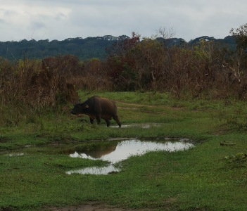 A Buffalo in Odzala National Park, Congo