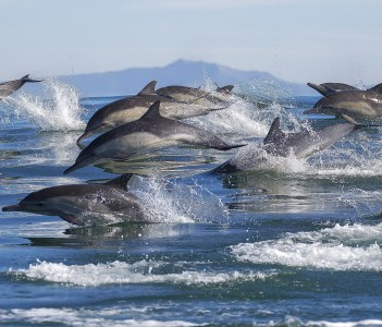 A pod of long-beaked common dolphins leap out of the water in Monterey Bay