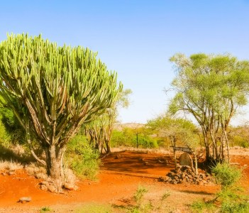 Candelabra Euphorbia Tree and some other trees near Isiolo in Kenya