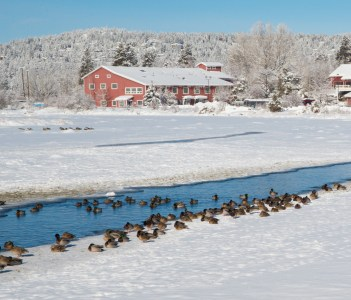 Ducks and geese along the Deschutes River in Bend Oregon